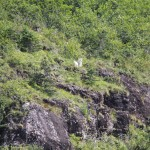Magical mountain goats