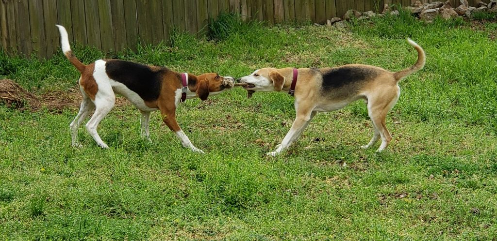 Abbott and Tobin  play tug-of-war