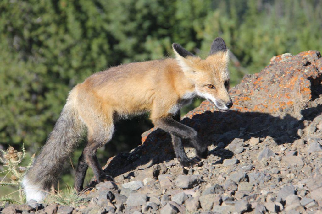 A fox at Glacier National Park